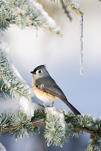 BRD 13 DA0013 01 © Kimball Stock Tufted Titmouse Perched In Blue Atlas Cedar In Winter