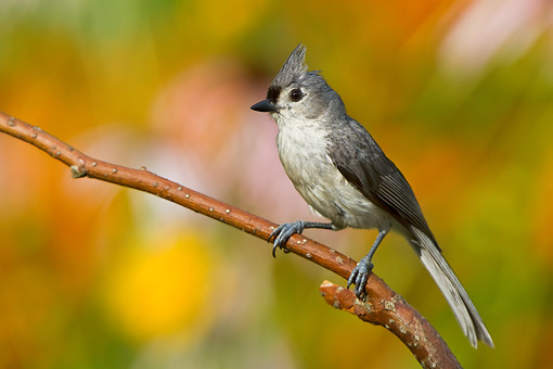 BRD 13 DA0014 01 © Kimball Stock Tufted Titmouse Perched On Twig In Garden