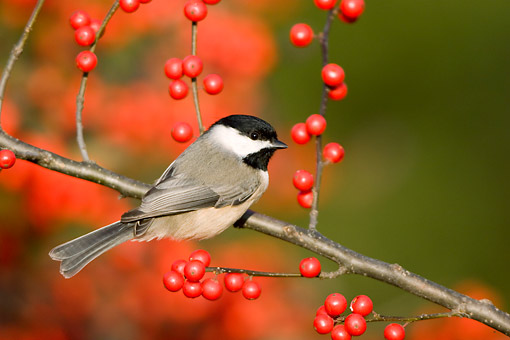 BRD 13 DA0015 01 © Kimball Stock Carolina Chickadee Perched On Common Winterberry Bush