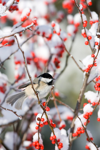BRD 13 DA0016 01 © Kimball Stock Carolina Chickadee Perched On Common Winterberry Bush In Winter