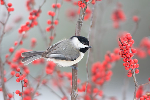 BRD 13 DA0017 01 © Kimball Stock Carolina Chickadee Perched On Common Winterberry Bush In Winter