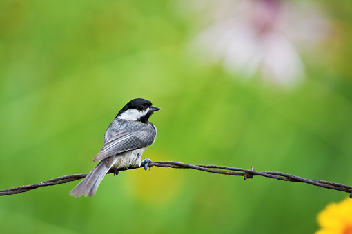 BRD 13 DA0018 01 © Kimball Stock Carolina Chickadee Perched On Barbed Wire Fence In Garden
