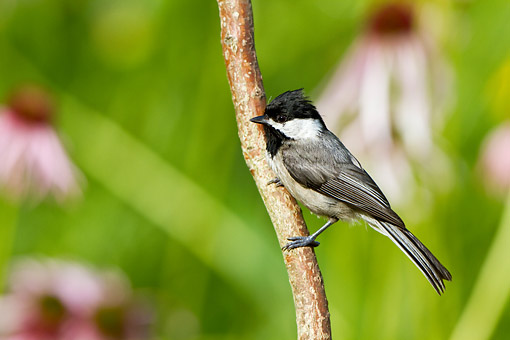 BRD 13 DA0019 01 © Kimball Stock Carolina Chickadee Perched On Branch In Garden