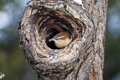 BRD 13 DA0020 01 © Kimball Stock Carolina Wren Sitting In Cavity Of Dead Tree In Winter
