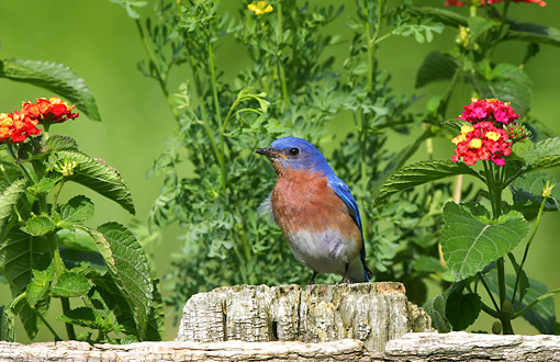 BRD 13 DA0021 01 © Kimball Stock Eastern Bluebird Male Standing On Wooden Fence In Garden