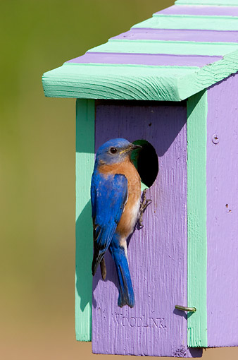 BRD 13 DA0022 01 © Kimball Stock Eastern Bluebird Male Perched On Nest Box