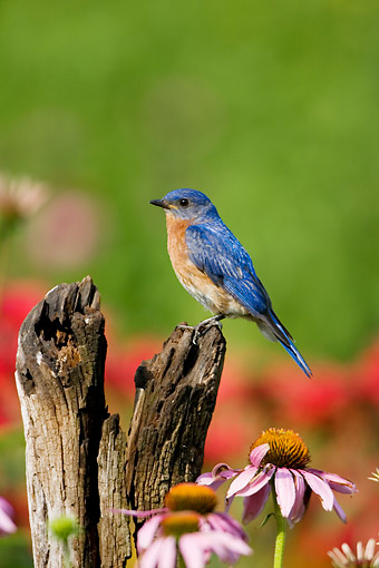 BRD 13 DA0023 01 © Kimball Stock Eastern Bluebird Male Perched On Fence Post In Garden