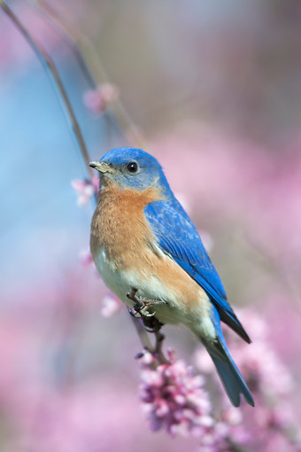 BRD 13 DA0027 01 © Kimball Stock Eastern Bluebird Male Perched On Eastern Redbud In Spring