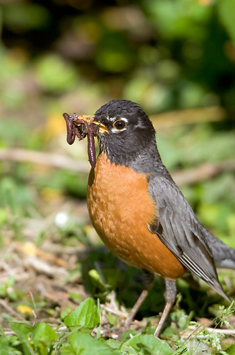 BRD 13 DA0031 01 © Kimball Stock Portrait Of American Robin With Worms In Beak