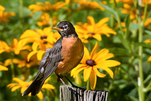 BRD 13 DA0033 01 © Kimball Stock American Robin Standing On Fence Post By Black-Eyed Susans