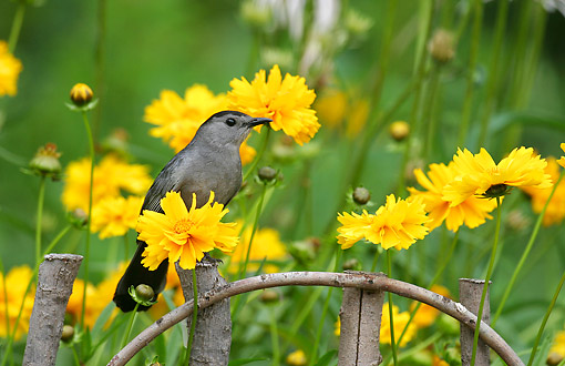BRD 13 DA0034 01 © Kimball Stock Gray Catbird Perched On Wooden Fence By Lance-Leaved Coreopsis
