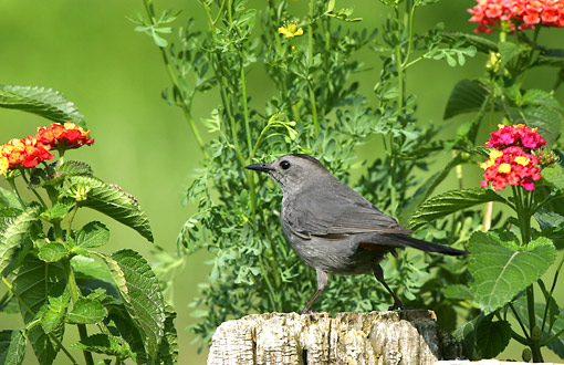 BRD 13 DA0035 01 © Kimball Stock Gray Catbird Standing On Wooden Fence In Garden