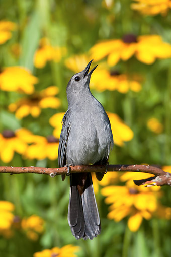 BRD 13 DA0036 01 © Kimball Stock Gray Catbird Singing On Twig By Black-Eyed Susans