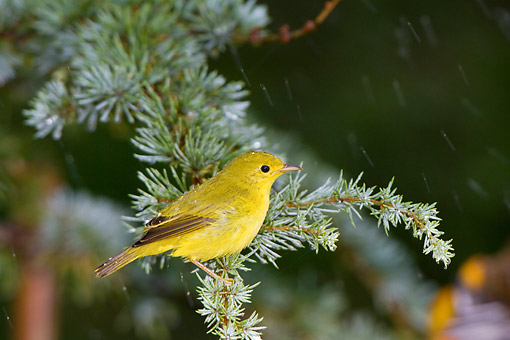 BRD 13 DA0039 01 © Kimball Stock Yellow Warbler Bathing In Mist On Evergreen Branch