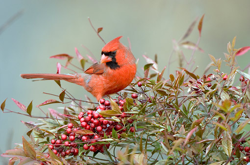 BRD 13 DA0040 01 © Kimball Stock Northern Cardinal Male Perched In Nandina Heavenly Bamboo In Winter