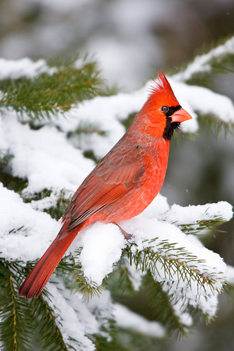 BRD 13 DA0046 01 © Kimball Stock Northern Cardinal Male Perched On Balsam Fir In Winter