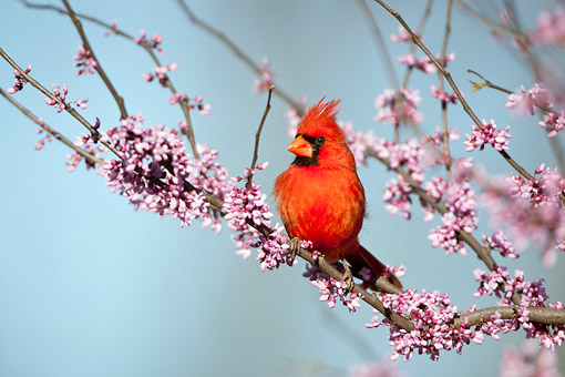 BRD 13 DA0049 01 © Kimball Stock Northern Cardinal Male Perched On Eastern Redbud In Spring