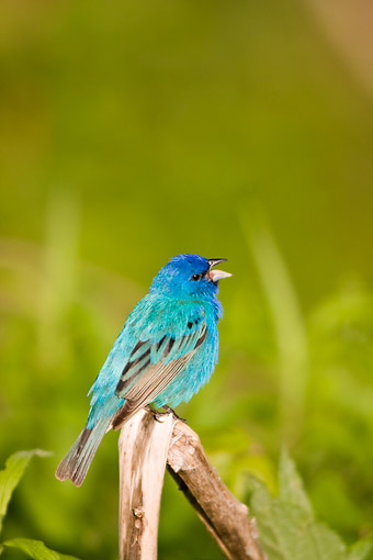 BRD 13 DA0055 01 © Kimball Stock Portrait Of Indigo Bunting Male Singing