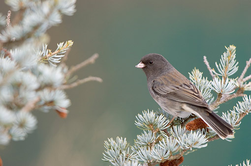 BRD 13 DA0056 01 © Kimball Stock Dark-Eyed Junco Perched On Spruce Tree In Winter