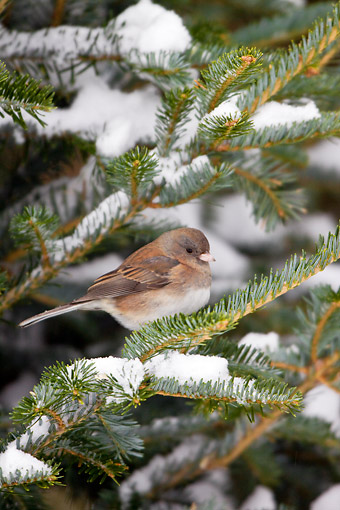 BRD 13 DA0057 01 © Kimball Stock Dark-Eyed Junco Perched On Spruce Tree In Winter