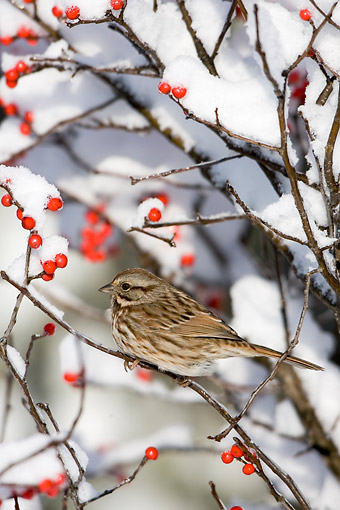 BRD 13 DA0058 01 © Kimball Stock Song Sparrow Perched On Common Winterberry In Winter