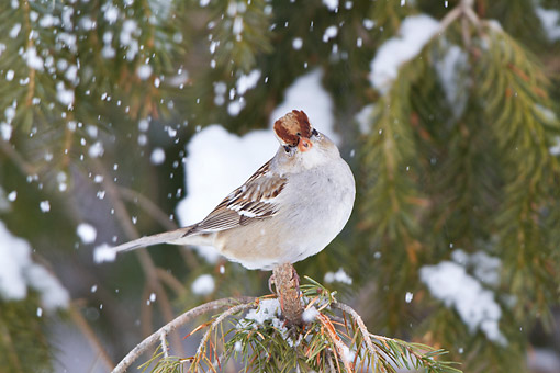 BRD 13 DA0059 01 © Kimball Stock Young White-Crowned Sparrow Perched On Spruce Tree In Winter