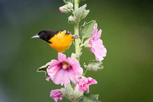 BRD 13 DA0063 01 © Kimball Stock Baltimore Oriole Male Perched On Hollyhock