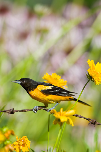 BRD 13 DA0064 01 © Kimball Stock Baltimore Oriole Female Perched On Yellow Flowers In Garden