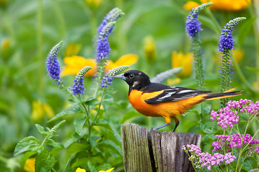 BRD 13 DA0066 01 © Kimball Stock Baltimore Oriole Male Perched On Post By Pink Yarrow, Blue Veronica And Black-Eyed Susans