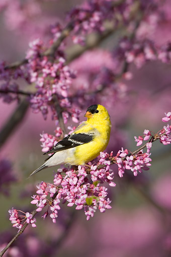 BRD 13 DA0070 01 © Kimball Stock American Goldfinch Male Perched In Eastern Redbud Tree