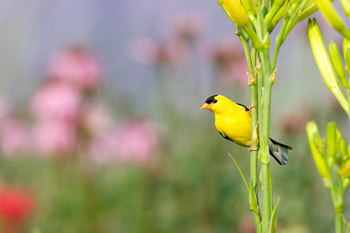 BRD 13 DA0073 01 © Kimball Stock American Goldfinch Male Perched On Yellow Daylily
