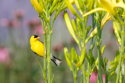 BRD 13 DA0074 01 © Kimball Stock American Goldfinch Male Perched On Yellow Daylily