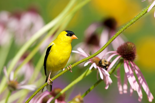 BRD 13 DA0076 01 © Kimball Stock American Goldfinch Male Perched On Pale Purple Coneflower