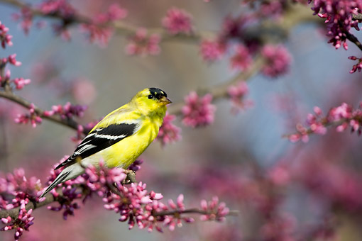 BRD 13 DA0077 01 © Kimball Stock American Goldfinch Male Perched In Eastern Redbud Tree