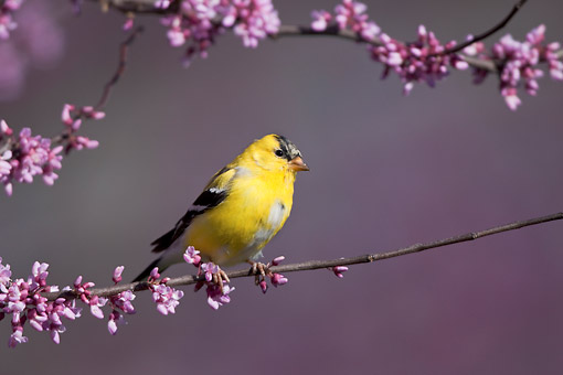 BRD 13 DA0078 01 © Kimball Stock American Goldfinch Male Perched In Eastern Redbud Tree