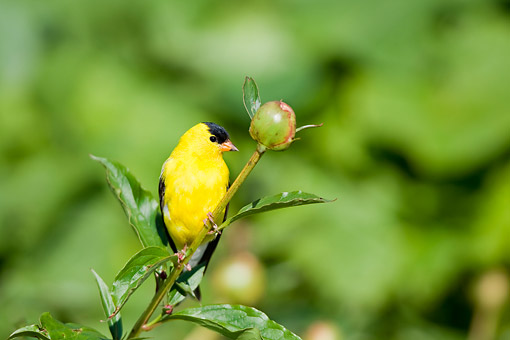 BRD 13 DA0079 01 © Kimball Stock American Goldfinch Male Perched On Peony Bud In Garden