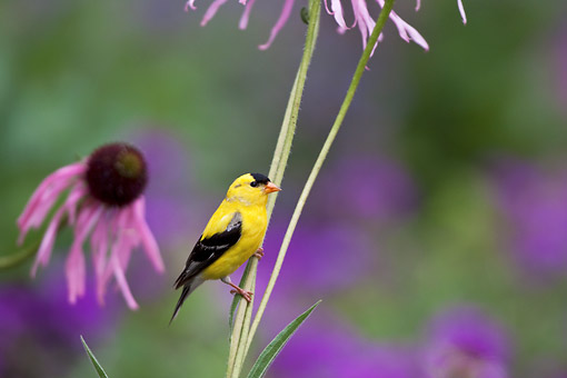 BRD 13 DA0080 01 © Kimball Stock American Goldfinch Male Perched On Pale Purple Coneflower