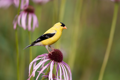 BRD 13 DA0081 01 © Kimball Stock American Goldfinch Male Perched On Pale Purple Coneflower