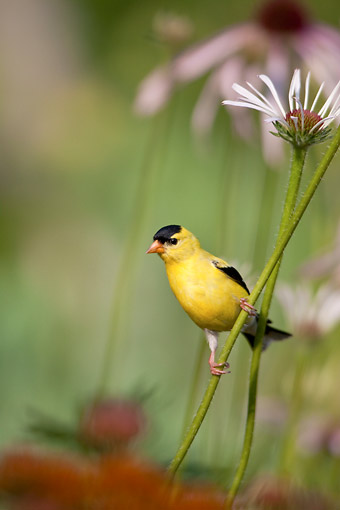 BRD 13 DA0083 01 © Kimball Stock American Goldfinch Male Perched On Pale Purple Coneflower