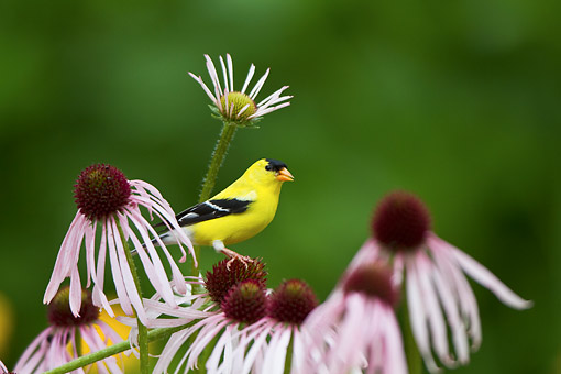 BRD 13 DA0084 01 © Kimball Stock American Goldfinch Male Perched On Pale Purple Coneflower