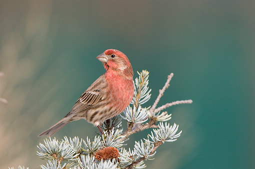 BRD 13 DA0085 01 © Kimball Stock House Finch Male Perched In Spruce Tree