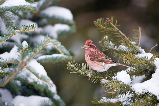 BRD 13 DA0086 01 © Kimball Stock House Finch Male Perched On Spruce Tree In Winter
