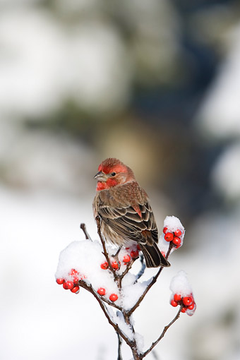 BRD 13 DA0087 01 © Kimball Stock House Finch Male Perched On Common Winterberry In Winter