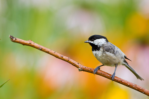 BRD 13 DA0091 01 © Kimball Stock Carolina Chickadee Perched On Twig In Garden, Illinois