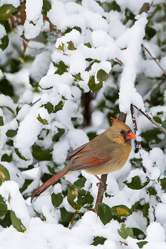 BRD 13 DA0098 01 © Kimball Stock Northern Cardinal Female Perched In American Holly In Winter, Illinois