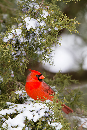 BRD 13 DA0101 01 © Kimball Stock Northern Cardinal Male Perched In Juniper Tree In Winter, Illinois