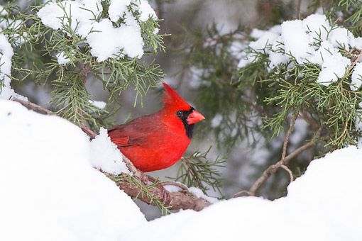 BRD 13 DA0102 01 © Kimball Stock Northern Cardinal Male Perched In Juniper Tree In Winter, Illinois
