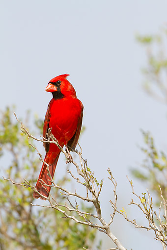 BRD 13 DA0104 01 © Kimball Stock Northern Cardinal Male Perched In Tree, Texas