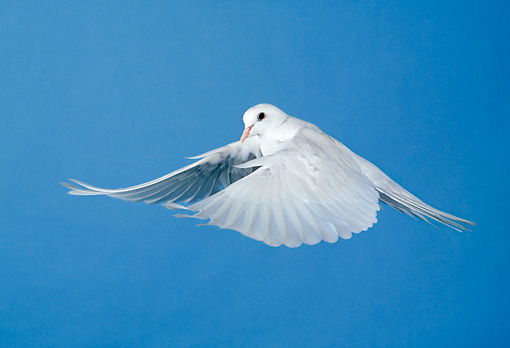 BRD 13 GL0002 01 © Kimball Stock White Dove Flying Against Blue Sky