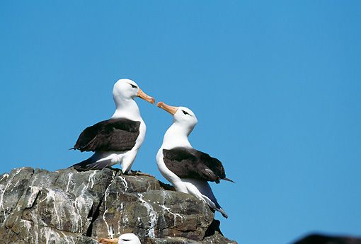 BRD 13 GL0003 01 © Kimball Stock Two Black-Browed Albatross Sitting On Rock Face To Face